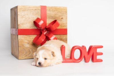 puppy254 week3 BowTiePomsky.com Bowtie Pomsky Puppy For Sale Husky Pomeranian Mini Dog Spokane WA Breeder Blue Eyes Pomskies Celebrity Puppy web4