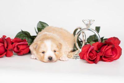 puppy254 week3 BowTiePomsky.com Bowtie Pomsky Puppy For Sale Husky Pomeranian Mini Dog Spokane WA Breeder Blue Eyes Pomskies Celebrity Puppy web5