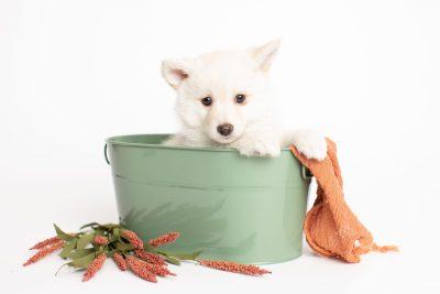 puppy244 week7 BowTiePomsky.com Bowtie Pomsky Puppy For Sale Husky Pomeranian Mini Dog Spokane WA Breeder Blue Eyes Pomskies Celebrity Puppy web2