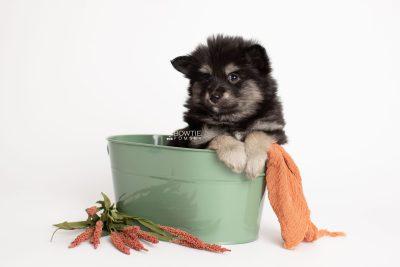 puppy245 week7 BowTiePomsky.com Bowtie Pomsky Puppy For Sale Husky Pomeranian Mini Dog Spokane WA Breeder Blue Eyes Pomskies Celebrity Puppy web2