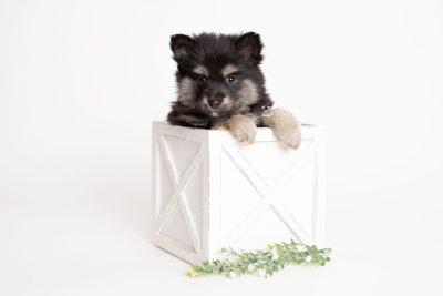 puppy245 week7 BowTiePomsky.com Bowtie Pomsky Puppy For Sale Husky Pomeranian Mini Dog Spokane WA Breeder Blue Eyes Pomskies Celebrity Puppy web3