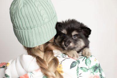 puppy245 week7 BowTiePomsky.com Bowtie Pomsky Puppy For Sale Husky Pomeranian Mini Dog Spokane WA Breeder Blue Eyes Pomskies Celebrity Puppy web7