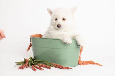 puppy246 week7 BowTiePomsky.com Bowtie Pomsky Puppy For Sale Husky Pomeranian Mini Dog Spokane WA Breeder Blue Eyes Pomskies Celebrity Puppy web2