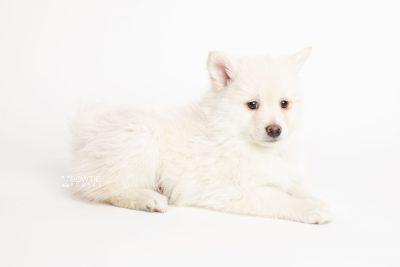 puppy246 week7 BowTiePomsky.com Bowtie Pomsky Puppy For Sale Husky Pomeranian Mini Dog Spokane WA Breeder Blue Eyes Pomskies Celebrity Puppy web6