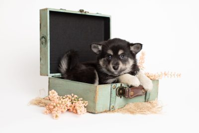 puppy247 week7 BowTiePomsky.com Bowtie Pomsky Puppy For Sale Husky Pomeranian Mini Dog Spokane WA Breeder Blue Eyes Pomskies Celebrity Puppy web1