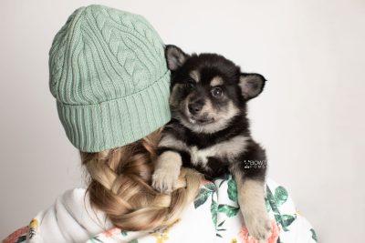 puppy247 week7 BowTiePomsky.com Bowtie Pomsky Puppy For Sale Husky Pomeranian Mini Dog Spokane WA Breeder Blue Eyes Pomskies Celebrity Puppy web8