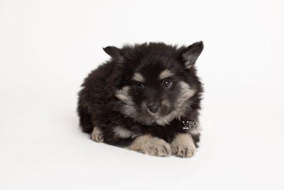 puppy249 week7 BowTiePomsky.com Bowtie Pomsky Puppy For Sale Husky Pomeranian Mini Dog Spokane WA Breeder Blue Eyes Pomskies Celebrity Puppy web6