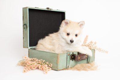 puppy250 week7 BowTiePomsky.com Bowtie Pomsky Puppy For Sale Husky Pomeranian Mini Dog Spokane WA Breeder Blue Eyes Pomskies Celebrity Puppy web1