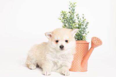 puppy250 week7 BowTiePomsky.com Bowtie Pomsky Puppy For Sale Husky Pomeranian Mini Dog Spokane WA Breeder Blue Eyes Pomskies Celebrity Puppy web5-a