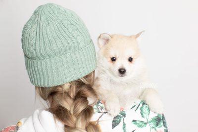 puppy250 week7 BowTiePomsky.com Bowtie Pomsky Puppy For Sale Husky Pomeranian Mini Dog Spokane WA Breeder Blue Eyes Pomskies Celebrity Puppy web7