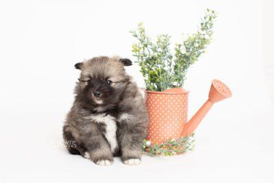 puppy253 week5 BowTiePomsky.com Bowtie Pomsky Puppy For Sale Husky Pomeranian Mini Dog Spokane WA Breeder Blue Eyes Pomskies Celebrity Puppy web5