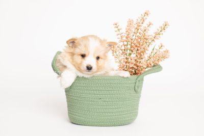 puppy254 week5 BowTiePomsky.com Bowtie Pomsky Puppy For Sale Husky Pomeranian Mini Dog Spokane WA Breeder Blue Eyes Pomskies Celebrity Puppy web2