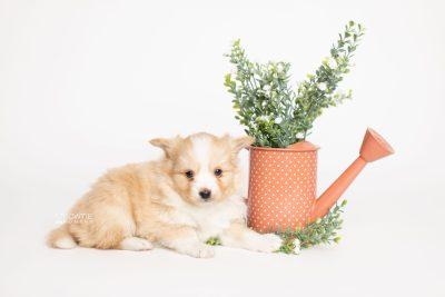 puppy254 week5 BowTiePomsky.com Bowtie Pomsky Puppy For Sale Husky Pomeranian Mini Dog Spokane WA Breeder Blue Eyes Pomskies Celebrity Puppy web5