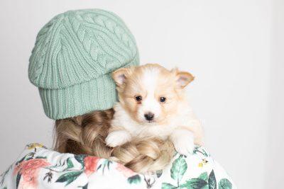 puppy254 week5 BowTiePomsky.com Bowtie Pomsky Puppy For Sale Husky Pomeranian Mini Dog Spokane WA Breeder Blue Eyes Pomskies Celebrity Puppy web7