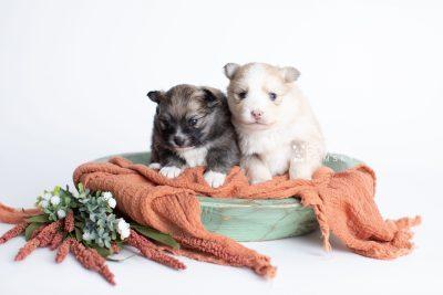 puppy256-257 week3 BowTiePomsky.com Bowtie Pomsky Puppy For Sale Husky Pomeranian Mini Dog Spokane WA Breeder Blue Eyes Pomskies Celebrity Puppy web