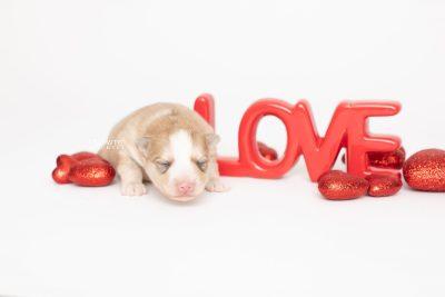 puppy257 week1 BowTiePomsky.com Bowtie Pomsky Puppy For Sale Husky Pomeranian Mini Dog Spokane WA Breeder Blue Eyes Pomskies Celebrity Puppy web4