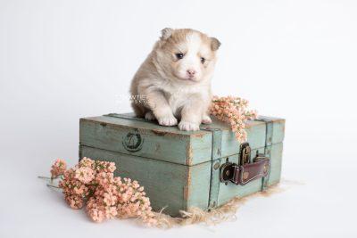 puppy257 week3 BowTiePomsky.com Bowtie Pomsky Puppy For Sale Husky Pomeranian Mini Dog Spokane WA Breeder Blue Eyes Pomskies Celebrity Puppy web1