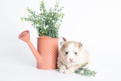 puppy257 week3 BowTiePomsky.com Bowtie Pomsky Puppy For Sale Husky Pomeranian Mini Dog Spokane WA Breeder Blue Eyes Pomskies Celebrity Puppy web3