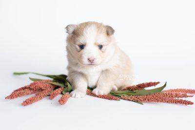 puppy257 week3 BowTiePomsky.com Bowtie Pomsky Puppy For Sale Husky Pomeranian Mini Dog Spokane WA Breeder Blue Eyes Pomskies Celebrity Puppy web6