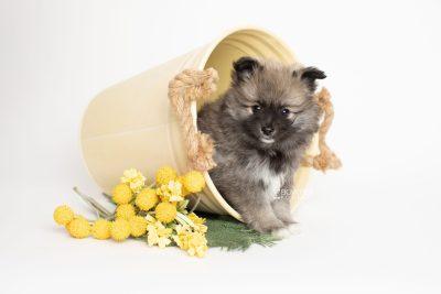 puppy253 week7 BowTiePomsky.com Bowtie Pomsky Puppy For Sale Husky Pomeranian Mini Dog Spokane WA Breeder Blue Eyes Pomskies Celebrity Puppy web1