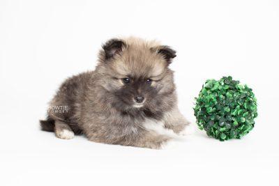 puppy253 week7 BowTiePomsky.com Bowtie Pomsky Puppy For Sale Husky Pomeranian Mini Dog Spokane WA Breeder Blue Eyes Pomskies Celebrity Puppy web5