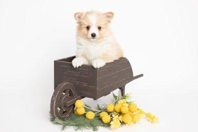puppy254 week7 BowTiePomsky.com Bowtie Pomsky Puppy For Sale Husky Pomeranian Mini Dog Spokane WA Breeder Blue Eyes Pomskies Celebrity Puppy web2