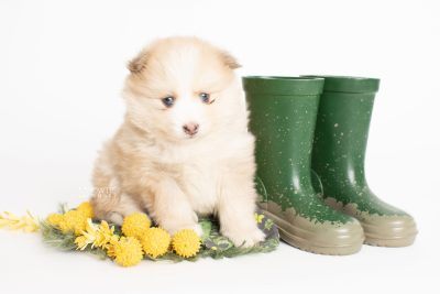 puppy257 week5 BowTiePomsky.com Bowtie Pomsky Puppy For Sale Husky Pomeranian Mini Dog Spokane WA Breeder Blue Eyes Pomskies Celebrity Puppy web3