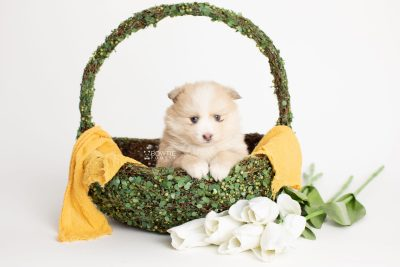 puppy257 week5 BowTiePomsky.com Bowtie Pomsky Puppy For Sale Husky Pomeranian Mini Dog Spokane WA Breeder Blue Eyes Pomskies Celebrity Puppy web4