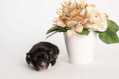 puppy278 week1 BowTiePomsky.com Bowtie Pomsky Puppy For Sale Husky Pomeranian Mini Dog Spokane WA Breeder Blue Eyes Pomskies Celebrity Puppy web5