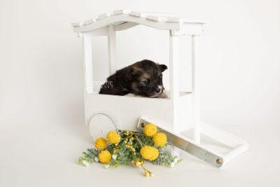 puppy278 week3 BowTiePomsky.com Bowtie Pomsky Puppy For Sale Husky Pomeranian Mini Dog Spokane WA Breeder Blue Eyes Pomskies Celebrity Puppy web1