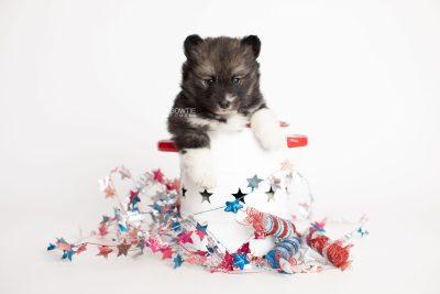 puppy278 week5 BowTiePomsky.com Bowtie Pomsky Puppy For Sale Husky Pomeranian Mini Dog Spokane WA Breeder Blue Eyes Pomskies Celebrity Puppy web1