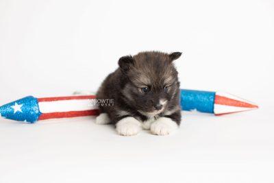 puppy278 week5 BowTiePomsky.com Bowtie Pomsky Puppy For Sale Husky Pomeranian Mini Dog Spokane WA Breeder Blue Eyes Pomskies Celebrity Puppy web4