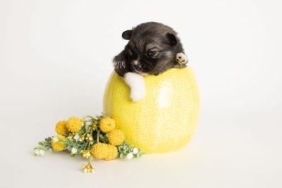 puppy279 week3 BowTiePomsky.com Bowtie Pomsky Puppy For Sale Husky Pomeranian Mini Dog Spokane WA Breeder Blue Eyes Pomskies Celebrity Puppy web2