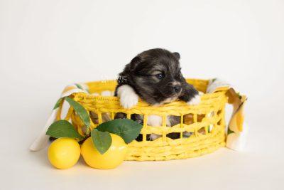puppy279 week3 BowTiePomsky.com Bowtie Pomsky Puppy For Sale Husky Pomeranian Mini Dog Spokane WA Breeder Blue Eyes Pomskies Celebrity Puppy web3