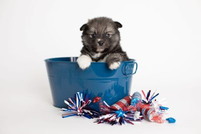 puppy279 week5 BowTiePomsky.com Bowtie Pomsky Puppy For Sale Husky Pomeranian Mini Dog Spokane WA Breeder Blue Eyes Pomskies Celebrity Puppy web3