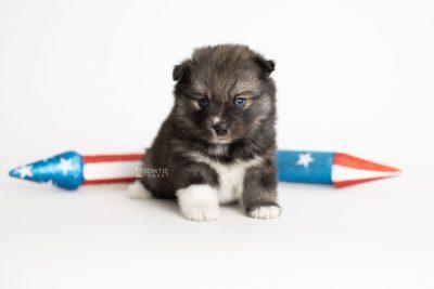 puppy279 week5 BowTiePomsky.com Bowtie Pomsky Puppy For Sale Husky Pomeranian Mini Dog Spokane WA Breeder Blue Eyes Pomskies Celebrity Puppy web4