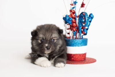 puppy279 week5 BowTiePomsky.com Bowtie Pomsky Puppy For Sale Husky Pomeranian Mini Dog Spokane WA Breeder Blue Eyes Pomskies Celebrity Puppy web5