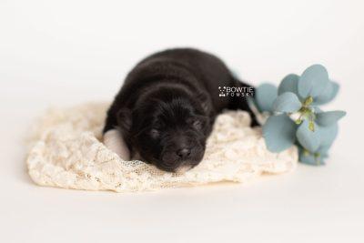 puppy280 week1 BowTiePomsky.com Bowtie Pomsky Puppy For Sale Husky Pomeranian Mini Dog Spokane WA Breeder Blue Eyes Pomskies Celebrity Puppy web3