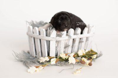 puppy280 week1 BowTiePomsky.com Bowtie Pomsky Puppy For Sale Husky Pomeranian Mini Dog Spokane WA Breeder Blue Eyes Pomskies Celebrity Puppy web4