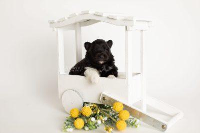 puppy280 week3 BowTiePomsky.com Bowtie Pomsky Puppy For Sale Husky Pomeranian Mini Dog Spokane WA Breeder Blue Eyes Pomskies Celebrity Puppy web1