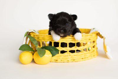 puppy280 week3 BowTiePomsky.com Bowtie Pomsky Puppy For Sale Husky Pomeranian Mini Dog Spokane WA Breeder Blue Eyes Pomskies Celebrity Puppy web3