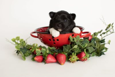 puppy280 week3 BowTiePomsky.com Bowtie Pomsky Puppy For Sale Husky Pomeranian Mini Dog Spokane WA Breeder Blue Eyes Pomskies Celebrity Puppy web4