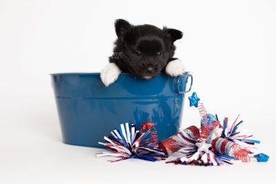 puppy280 week5 BowTiePomsky.com Bowtie Pomsky Puppy For Sale Husky Pomeranian Mini Dog Spokane WA Breeder Blue Eyes Pomskies Celebrity Puppy web3