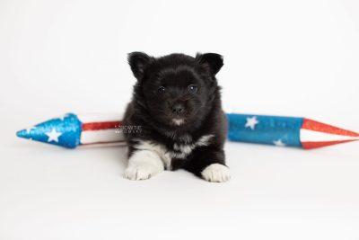 puppy280 week5 BowTiePomsky.com Bowtie Pomsky Puppy For Sale Husky Pomeranian Mini Dog Spokane WA Breeder Blue Eyes Pomskies Celebrity Puppy web4