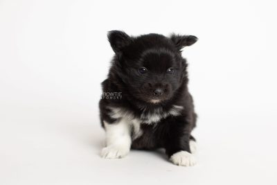puppy280 week5 BowTiePomsky.com Bowtie Pomsky Puppy For Sale Husky Pomeranian Mini Dog Spokane WA Breeder Blue Eyes Pomskies Celebrity Puppy web6