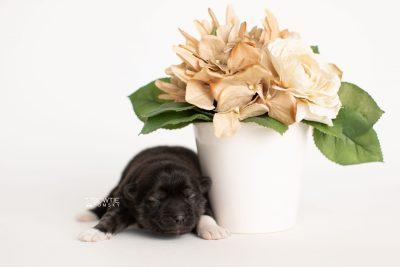 puppy281 week1 BowTiePomsky.com Bowtie Pomsky Puppy For Sale Husky Pomeranian Mini Dog Spokane WA Breeder Blue Eyes Pomskies Celebrity Puppy web5