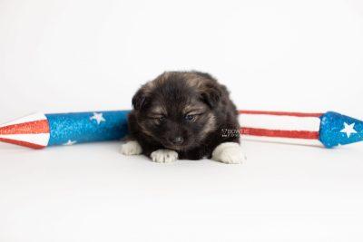 puppy281 week5 BowTiePomsky.com Bowtie Pomsky Puppy For Sale Husky Pomeranian Mini Dog Spokane WA Breeder Blue Eyes Pomskies Celebrity Puppy web4