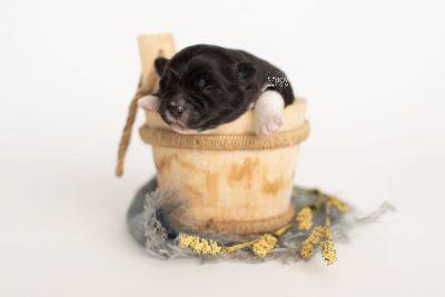 puppy282 week1 BowTiePomsky.com Bowtie Pomsky Puppy For Sale Husky Pomeranian Mini Dog Spokane WA Breeder Blue Eyes Pomskies Celebrity Puppy web3
