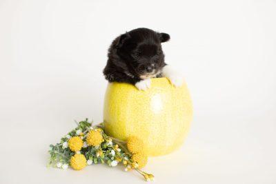 puppy282 week3 BowTiePomsky.com Bowtie Pomsky Puppy For Sale Husky Pomeranian Mini Dog Spokane WA Breeder Blue Eyes Pomskies Celebrity Puppy web2