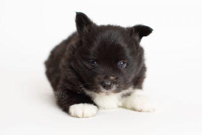 puppy282 week5 BowTiePomsky.com Bowtie Pomsky Puppy For Sale Husky Pomeranian Mini Dog Spokane WA Breeder Blue Eyes Pomskies Celebrity Puppy web6